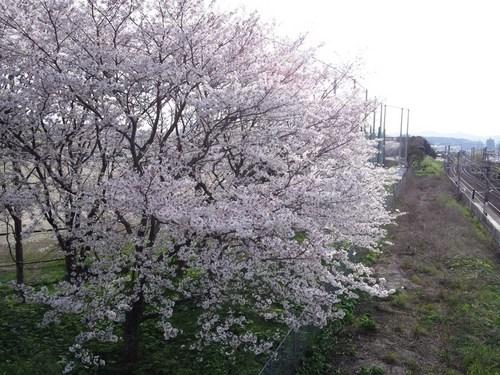 校庭の桜.jpg